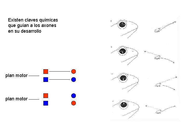 Existen claves químicas que guían a los axones en su desarrollo plan motor