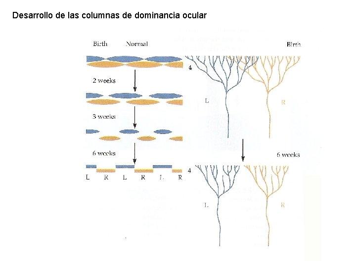 Desarrollo de las columnas de dominancia ocular