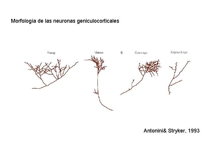 Morfología de las neuronas geniculocorticales Antonini& Stryker, 1993