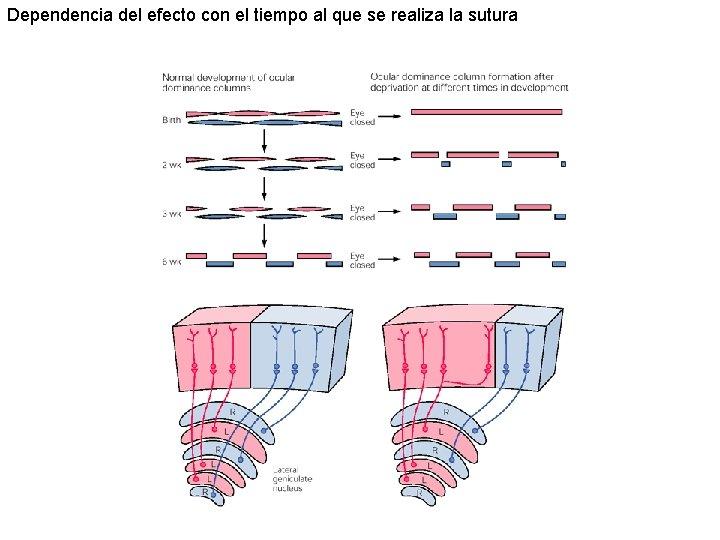 Dependencia del efecto con el tiempo al que se realiza la sutura