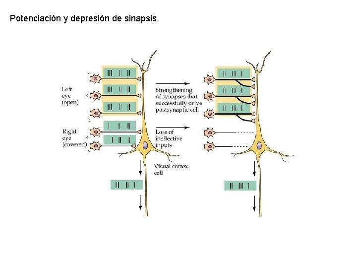 Potenciación y depresión de sinapsis