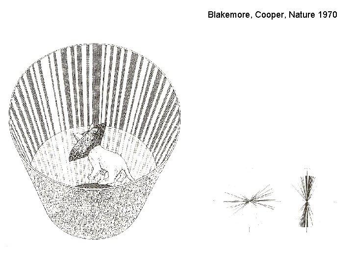 Blakemore, Cooper, Nature 1970