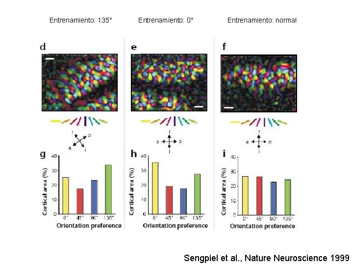 Entrenamiento: 135° Entrenamiento: 0° Entrenamiento: normal Sengpiel et al. , Nature Neuroscience 1999