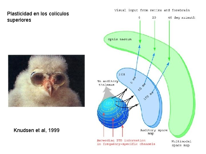 Plasticidad en los colículos superiores Knudsen et al, 1999