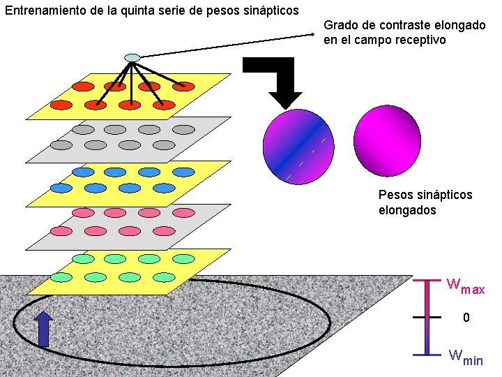 Entrenamiento de la quinta serie de pesos sinápticos Grado de contraste elongado en el