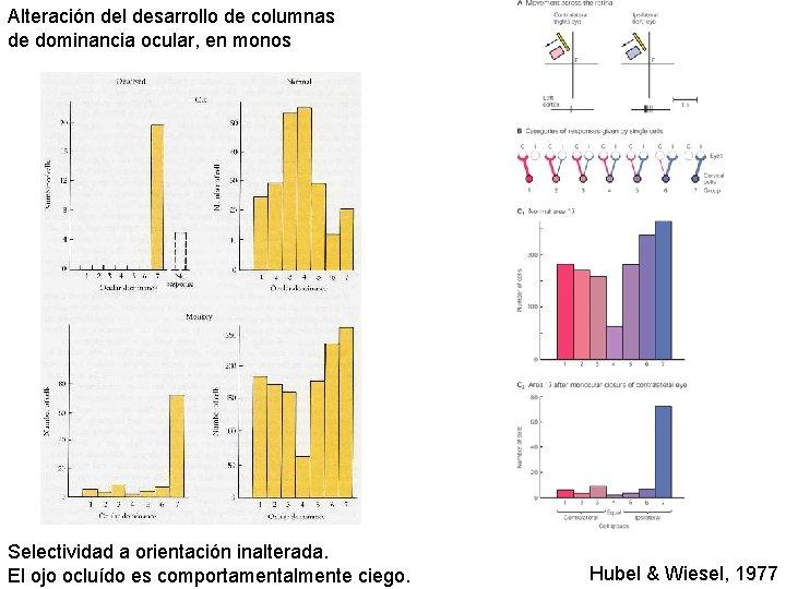 Alteración del desarrollo de columnas de dominancia ocular, en monos Selectividad a orientación inalterada.