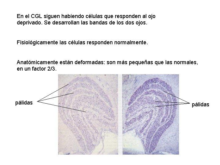 En el CGL siguen habiendo células que responden al ojo deprivado. Se desarrollan las