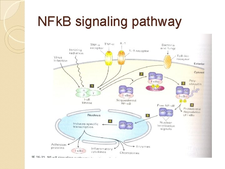 NFk. B signaling pathway