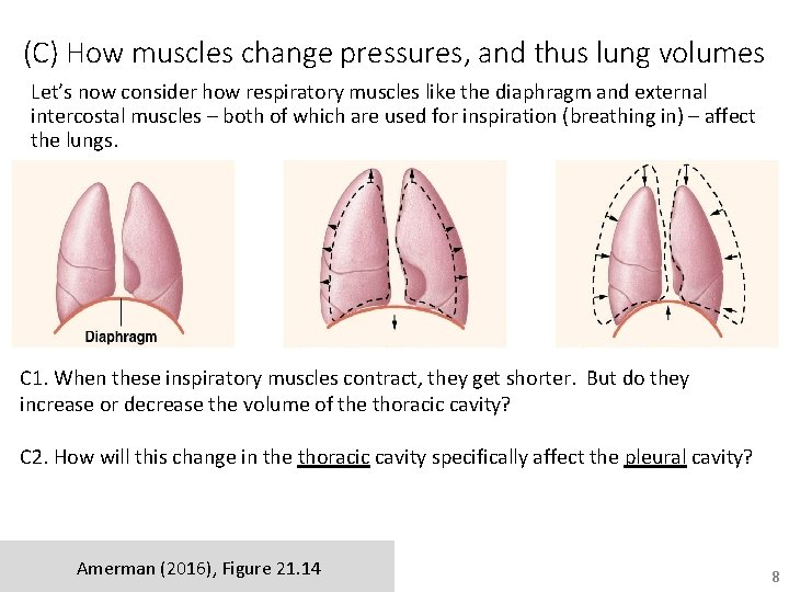 (C) How muscles change pressures, and thus lung volumes Let's now consider how respiratory