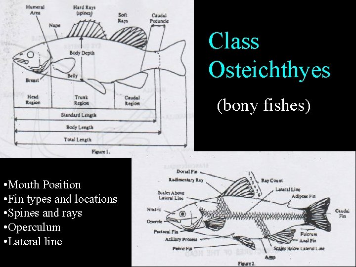 Class Osteichthyes (bony fishes) • Mouth Position • Fin types and locations • Spines