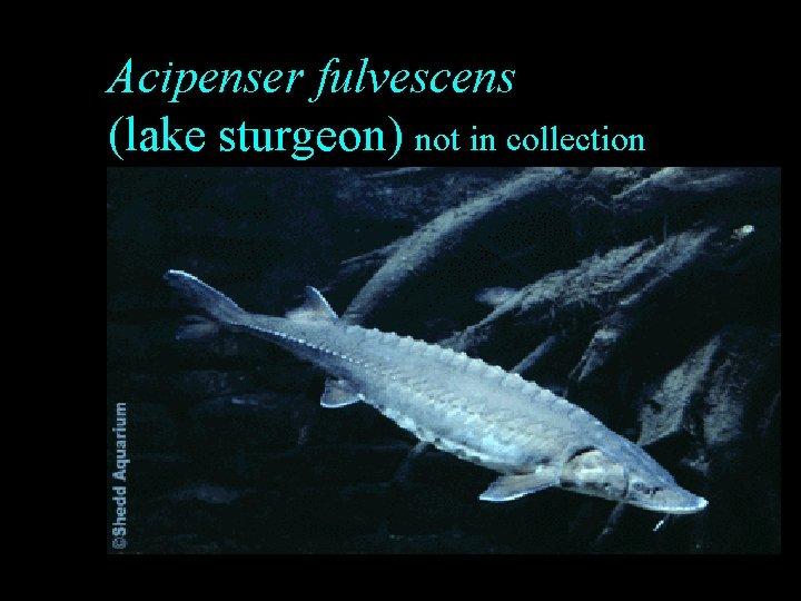 Acipenser fulvescens (lake sturgeon) not in collection