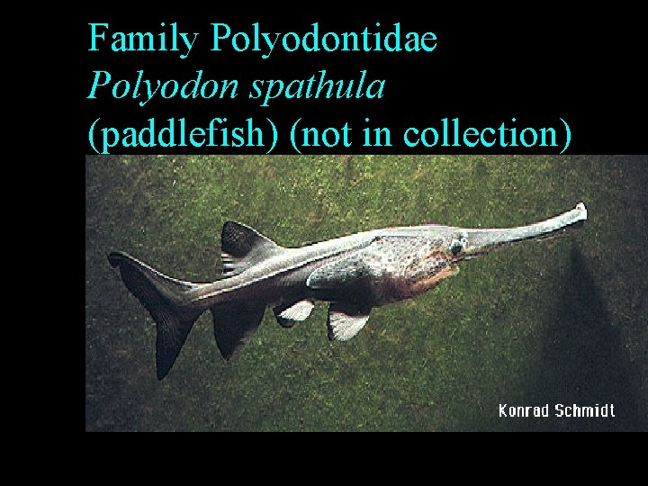 Family Polyodontidae Polyodon spathula (paddlefish) (not in collection)