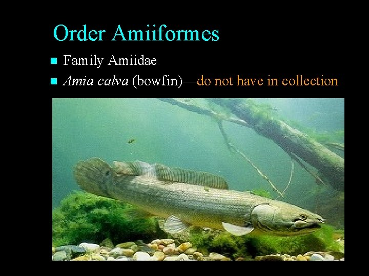 Order Amiiformes n n Family Amiidae Amia calva (bowfin)—do not have in collection