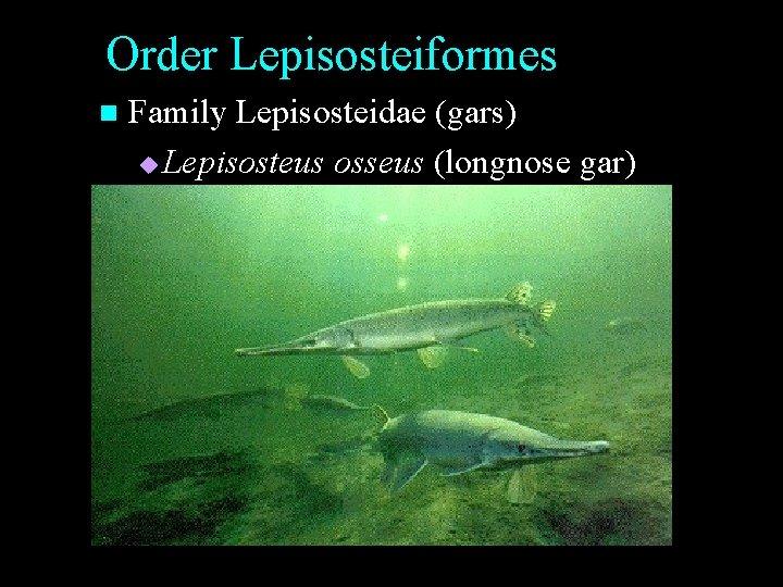Order Lepisosteiformes n Family Lepisosteidae (gars) u Lepisosteus osseus (longnose gar)