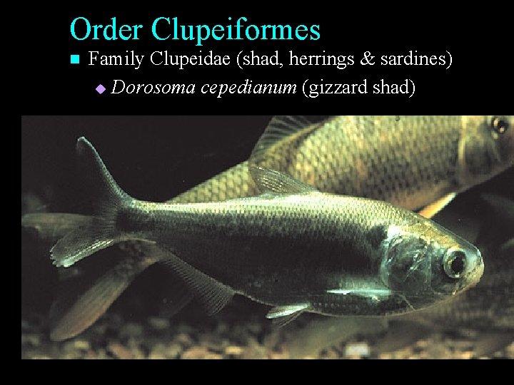 Order Clupeiformes n Family Clupeidae (shad, herrings & sardines) u Dorosoma cepedianum (gizzard shad)