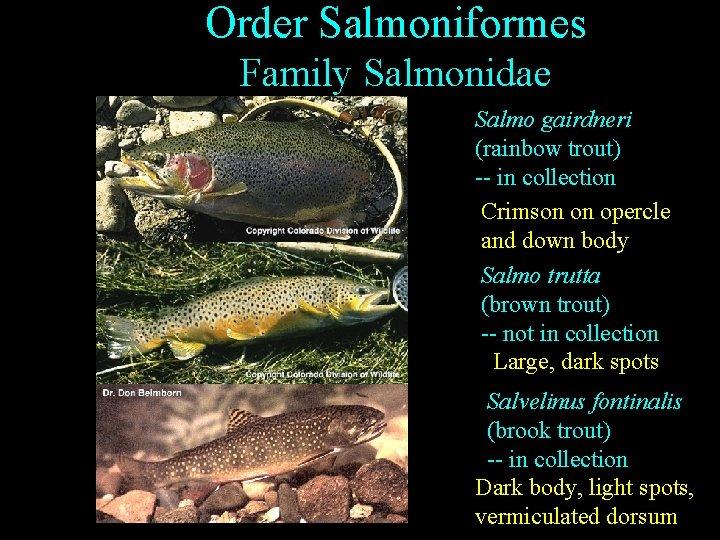 Order Salmoniformes Family Salmonidae Salmo gairdneri (rainbow trout) -- in collection Crimson on opercle