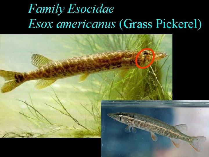 Family Esocidae Esox americanus (Grass Pickerel)