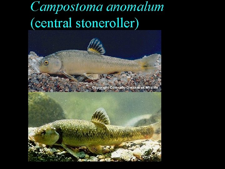 Campostoma anomalum (central stoneroller)