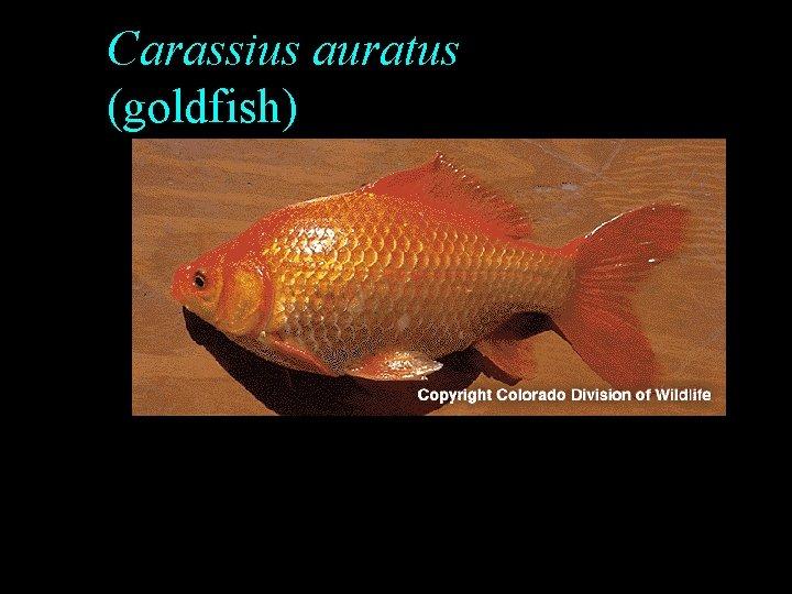 Carassius auratus (goldfish)