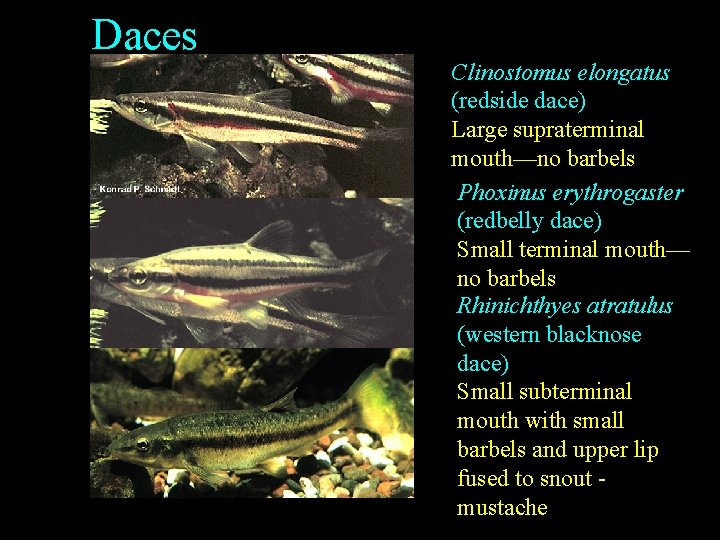 Daces Clinostomus elongatus (redside dace) Large supraterminal mouth—no barbels Phoxinus erythrogaster (redbelly dace) Small