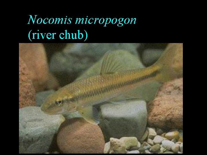Nocomis micropogon (river chub)