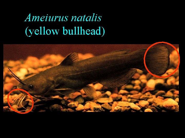 Ameiurus natalis (yellow bullhead)