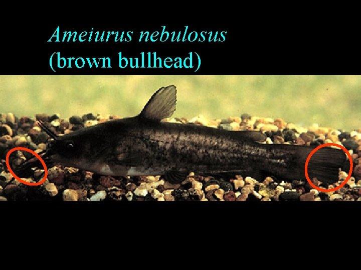 Ameiurus nebulosus (brown bullhead)