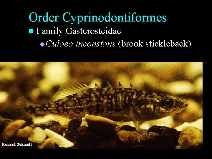 Order Cyprinodontiformes n Family Gasterosteidae u Culaea inconstans (brook stickleback)