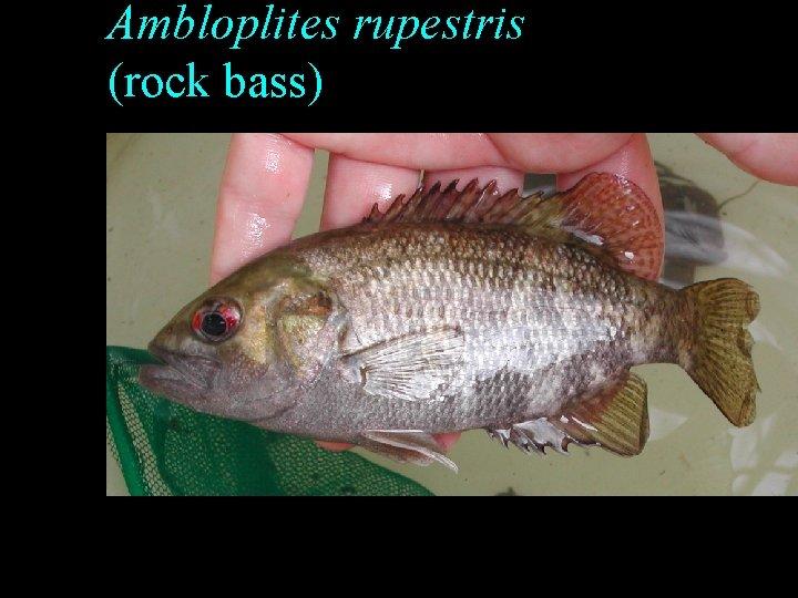 Ambloplites rupestris (rock bass)