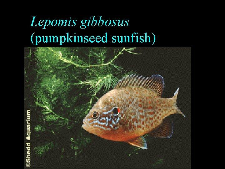 Lepomis gibbosus (pumpkinseed sunfish)