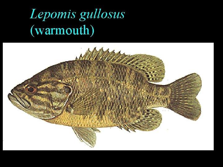 Lepomis gullosus (warmouth)