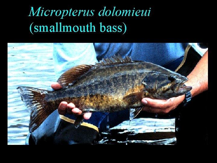 Micropterus dolomieui (smallmouth bass)