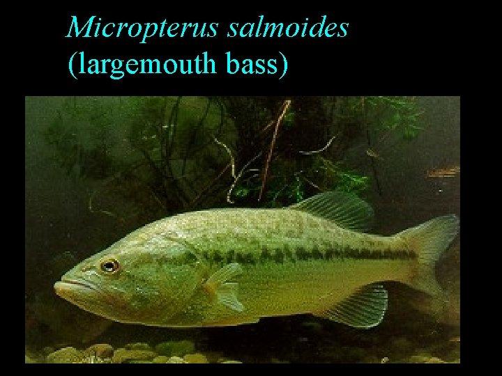 Micropterus salmoides (largemouth bass)