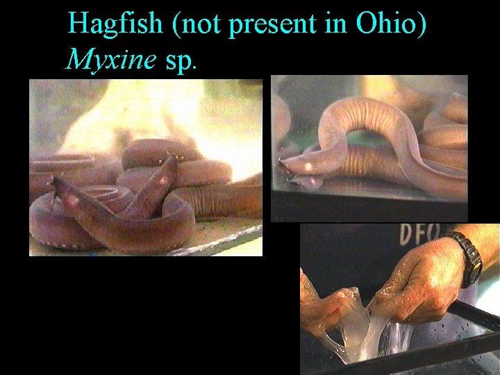 Hagfish (not present in Ohio) Myxine sp.