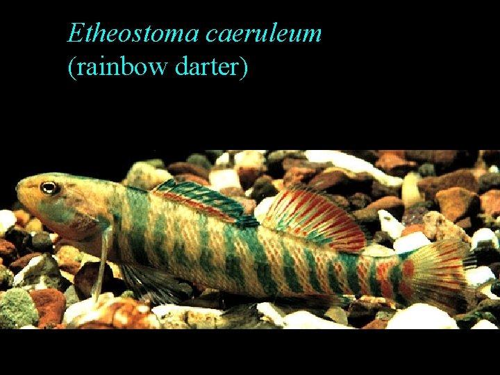 Etheostoma caeruleum (rainbow darter)