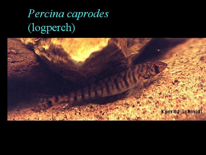 Percina caprodes (logperch)