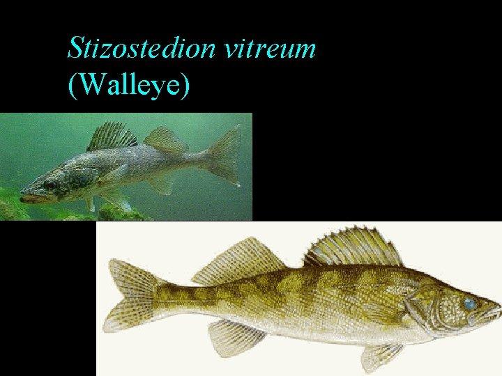 Stizostedion vitreum (Walleye)