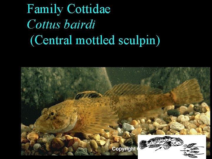 Family Cottidae Cottus bairdi (Central mottled sculpin)