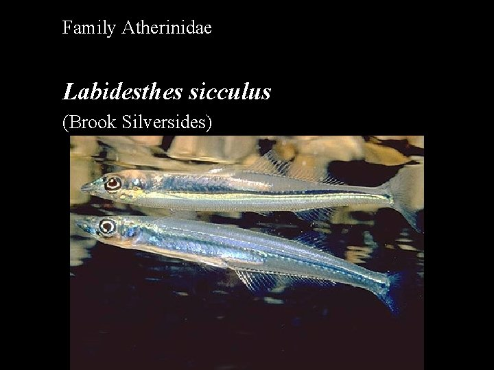 Family Atherinidae Labidesthes sicculus (Brook Silversides)