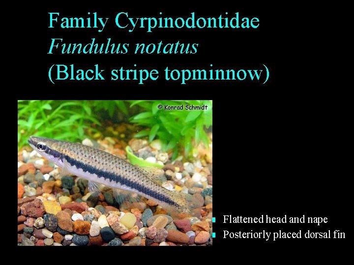 Family Cyrpinodontidae Fundulus notatus (Black stripe topminnow) n n Flattened head and nape Posteriorly