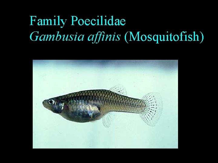 Family Poecilidae Gambusia affinis (Mosquitofish)