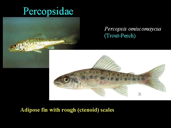 Percopsidae Percopsis omiscomaycus (Trout-Perch) Adipose fin with rough (ctenoid) scales
