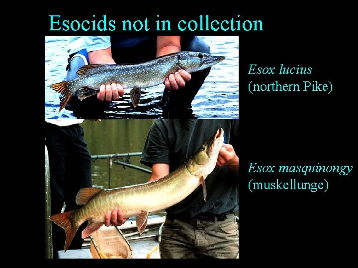 Esocids not in collection Esox lucius (northern Pike) Esox masquinongy (muskellunge)