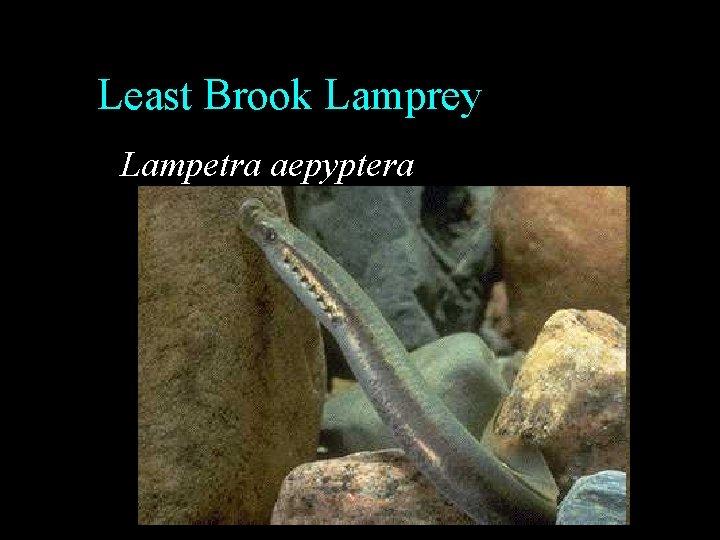 Least Brook Lamprey Lampetra aepyptera
