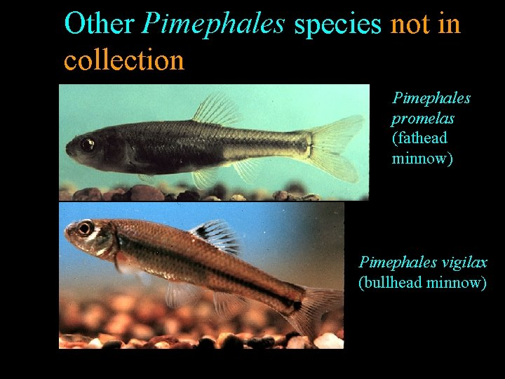 Other Pimephales species not in collection Pimephales promelas (fathead minnow) Pimephales vigilax (bullhead minnow)