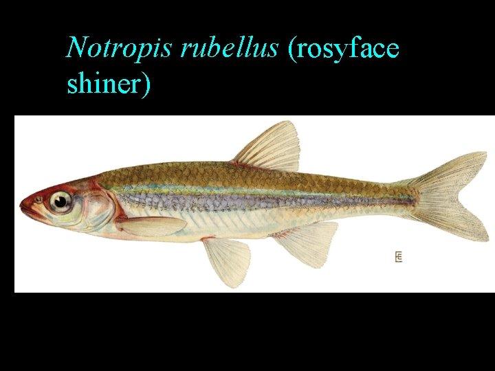 Notropis rubellus (rosyface shiner)