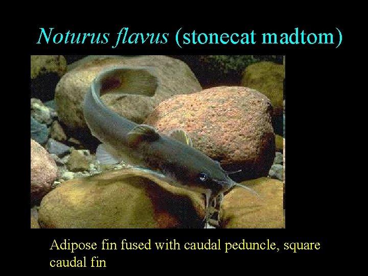Noturus flavus (stonecat madtom) Adipose fin fused with caudal peduncle, square caudal fin