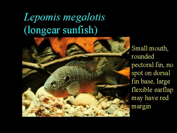 Lepomis megalotis (longear sunfish) Small mouth, rounded pectoral fin, no spot on dorsal fin