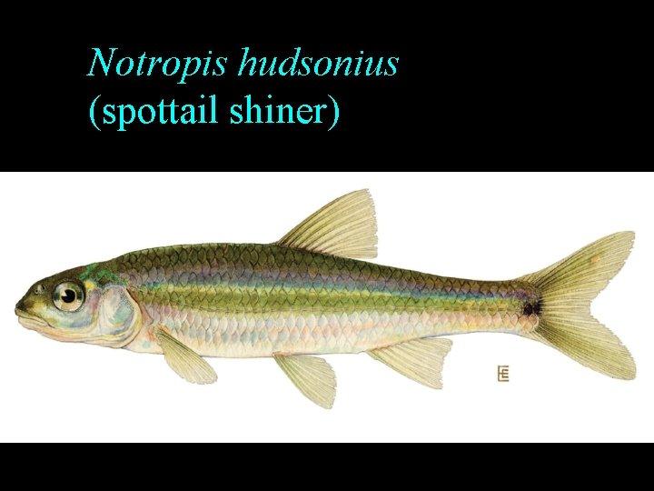 Notropis hudsonius (spottail shiner)