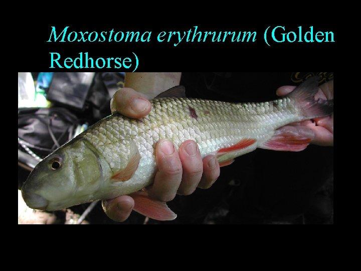 Moxostoma erythrurum (Golden Redhorse)